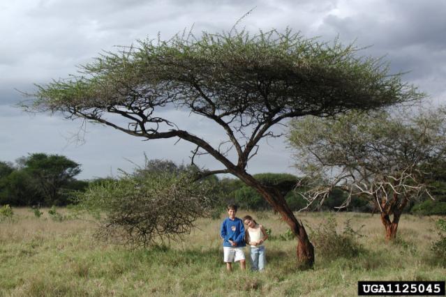 Umbrella thorn (Acacia tortilis), bushveldt savanna, Mkuzi Park, South Africa