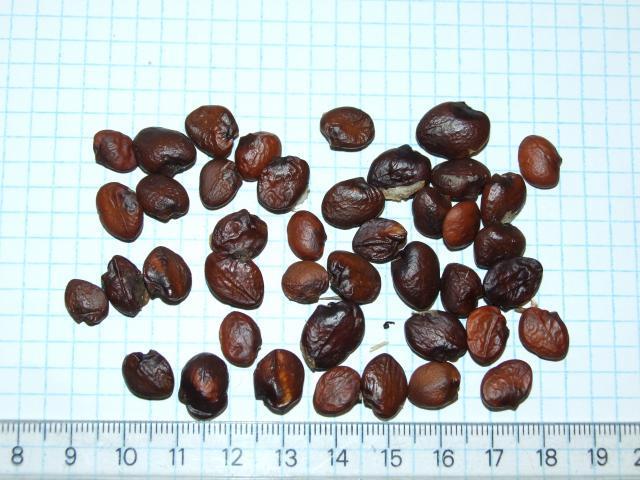 Acanthus (Acanthus mollis) seeds