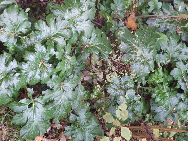 Acanthus (Acanthus mollis), leaves, Toulouse, France