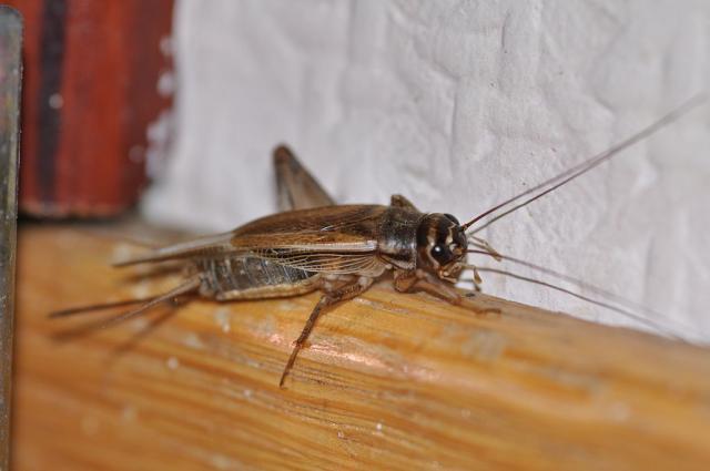 House cricket Acheta domestica