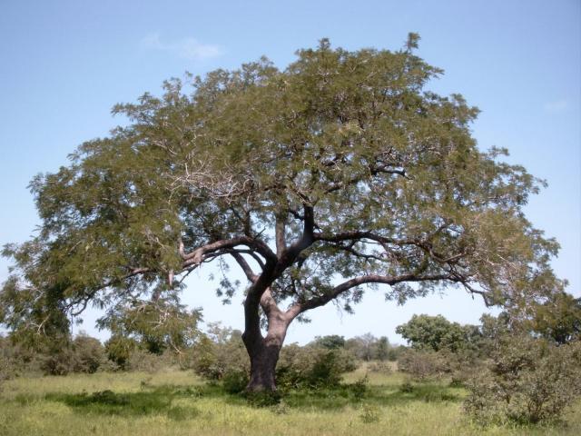 African locust bean (Parkia biglobosa) tree, habit, Burkina Faso