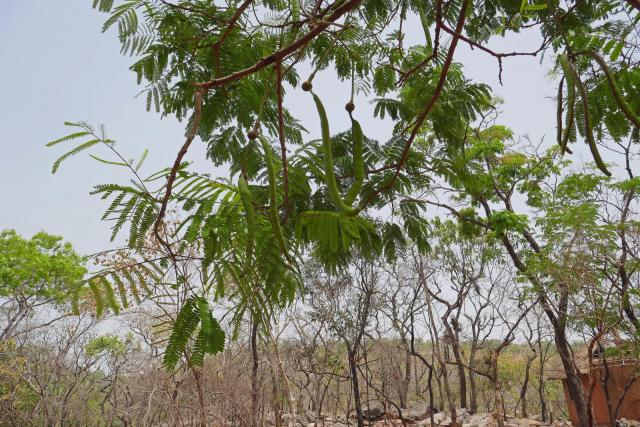 African locust bean (Parkia biglobosa), leaves and pods, Benin