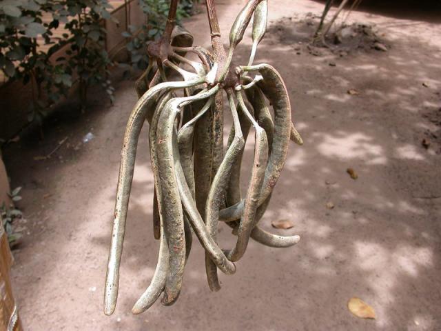 African locust bean (Parkia biglobosa), young pods, Burkina Faso