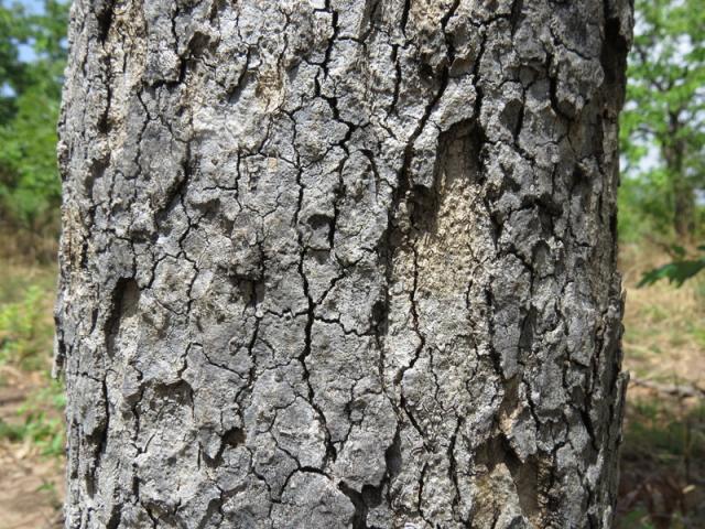 Afzelia africana bark