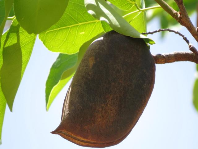 Afzelia africana, fruit (pod) and leaves