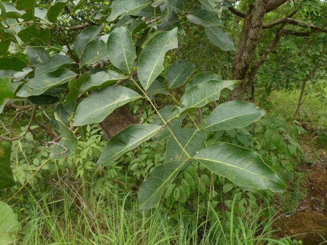 Afzelia africana leaves, Guinea