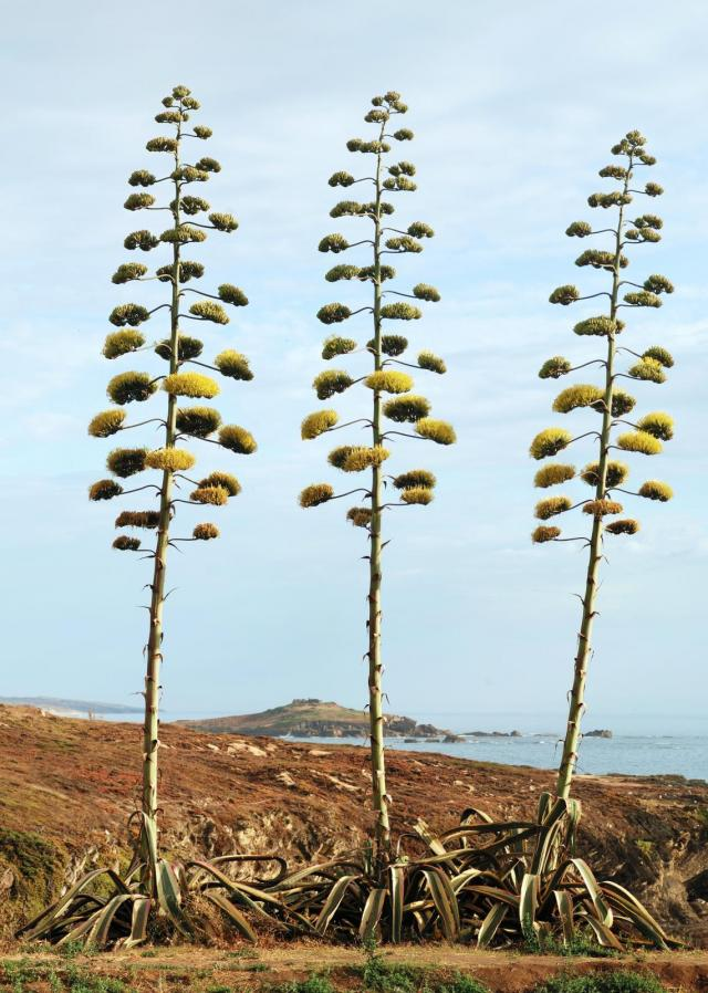 Century plant (Agave americana), in bloom