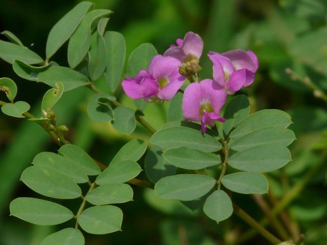 Ahuhu (Tephrosia purpurea), leaves and flowers