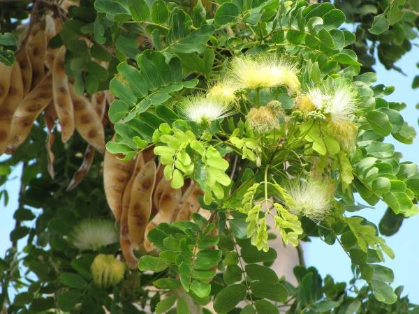 Albizia lebbeck (Siris tree) flowers, Hawaii