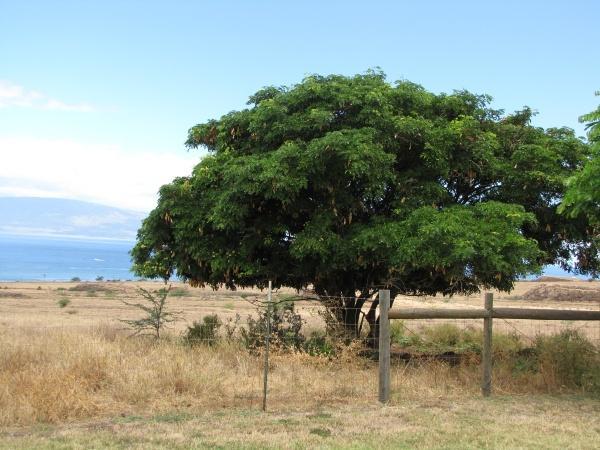 Albizia lebbeck (Siris tree), Hawaii