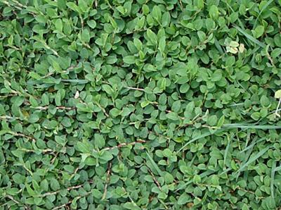 Alyce clover (Alysicarpus vaginalis) habit