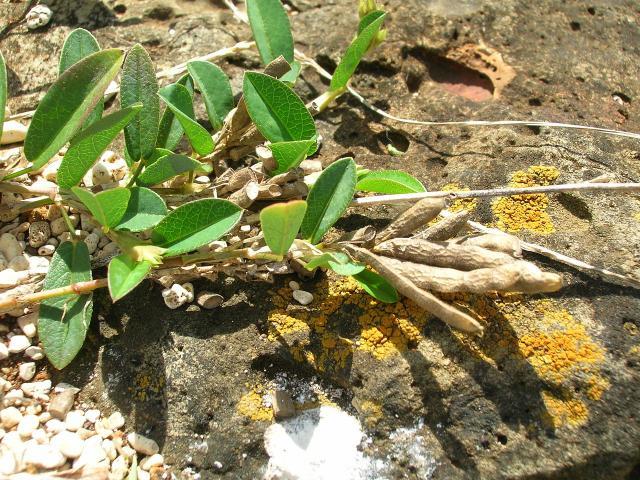 Alyce clover (Alysicarpus vaginalis), stem, leaves, and pods
