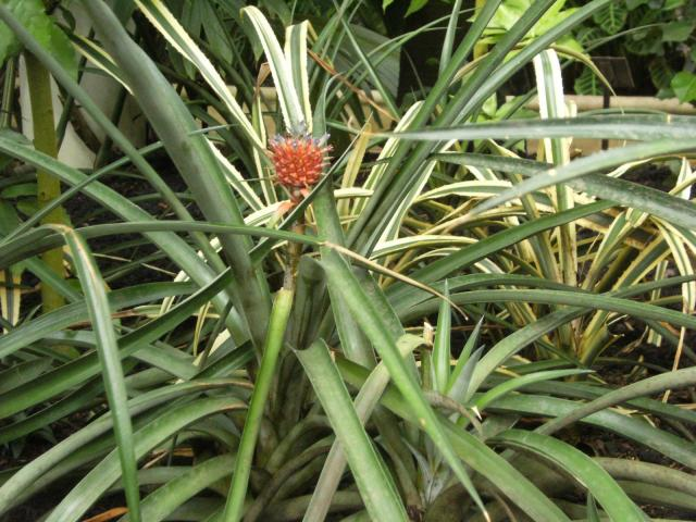 Ananas comosus champaca, an ornamental pineapple, Kew Gardens, London