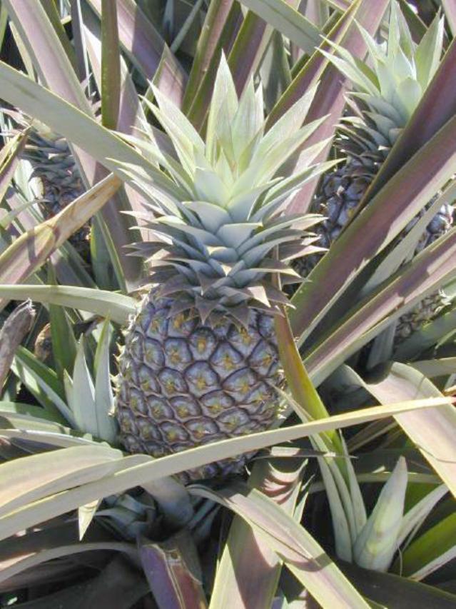 Pineapple, Hawai