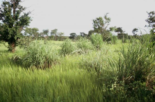 Gamba grass (Andropogon gayanus), tufted ceaspitose habit