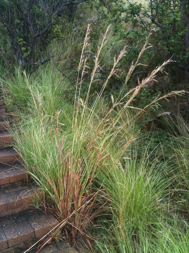 Gamba grass (Andropogon gayanus) panicle and tussock