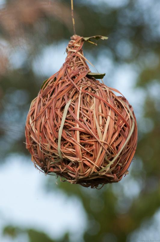 Gamba grass (Andropogon gayanus) nest built by Ploceus spp. birds