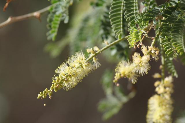 Apple-ring acacia (Faidherbia albida), inflorescence