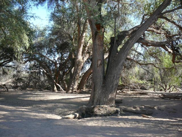 Apple-ring acacia (Faidherbia albida), Namibia