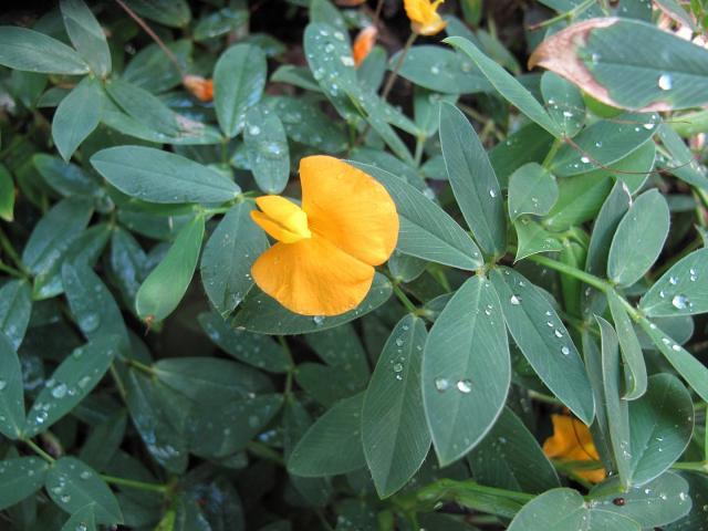 Rhizoma peanut (Arachis glabrata), flower and leaves