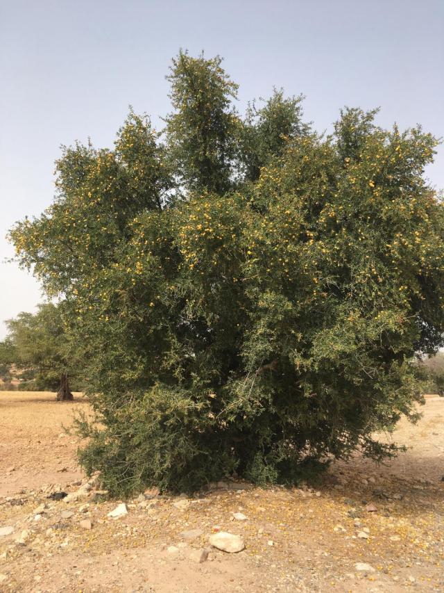 Argan (Argania spinosa), tree, Essaouira, Morocco