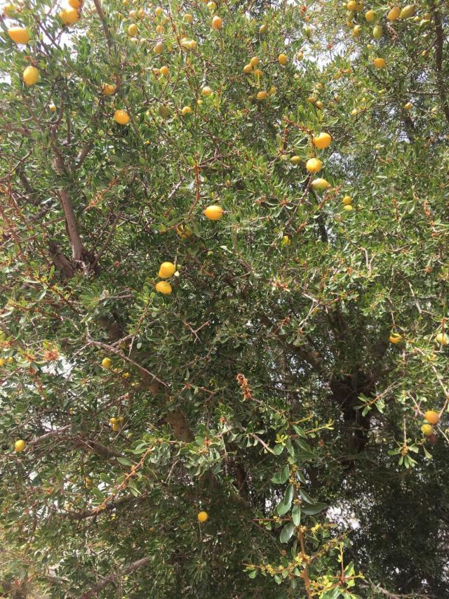 Argan (Argania spinosa), leaves and fruits, Essaouira, Morocco