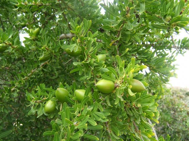 Argan (Argania spinosa), leaves and fruits, Agadir, Morocco