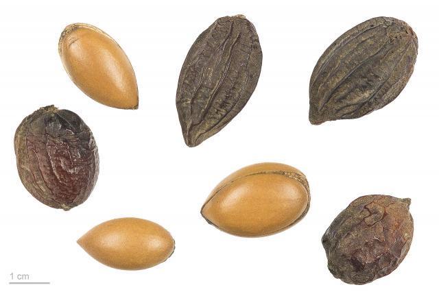 Argan (Argania spinosa) seeds