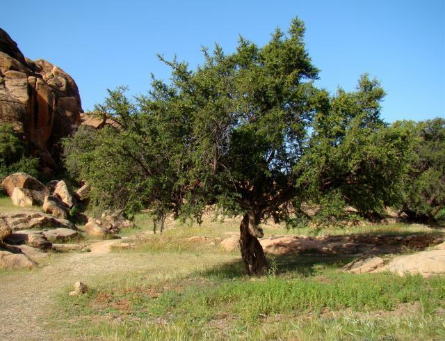 Argan (Argania spinosa) tree, Tafraoute, Morocco