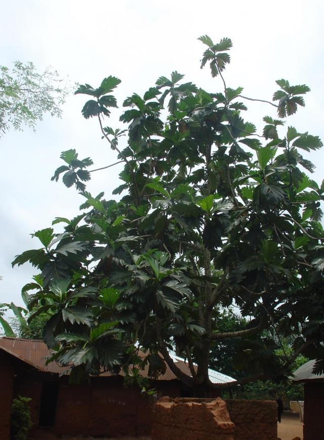 Breadfruit (Artocarpus altilis) tree, Benin