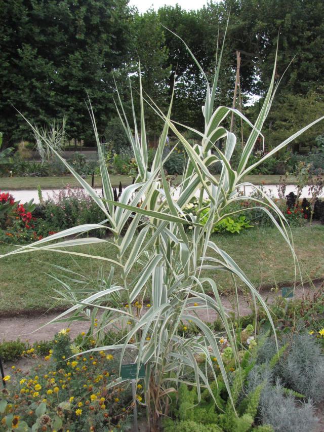 Arundo donax var. versicolor, Jardin des Plantes, Paris