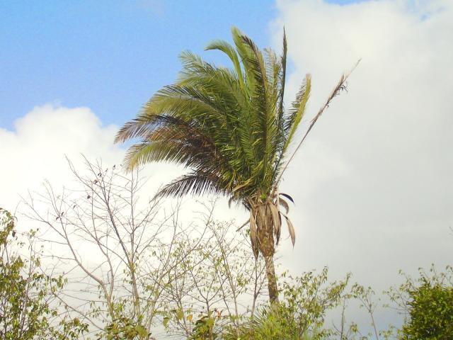 Babassu (Attalea speciosa), Maranhao, Brazil