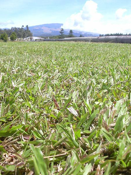 Blanket grass (Axonopus compressus) sward, Maui, Hawaii