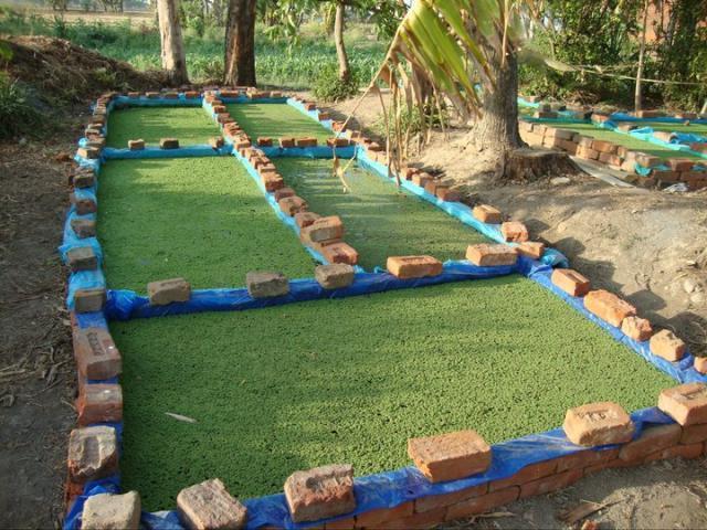Azolla cultivation