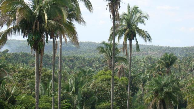 Babassu (Attalea speciosa), Brazil
