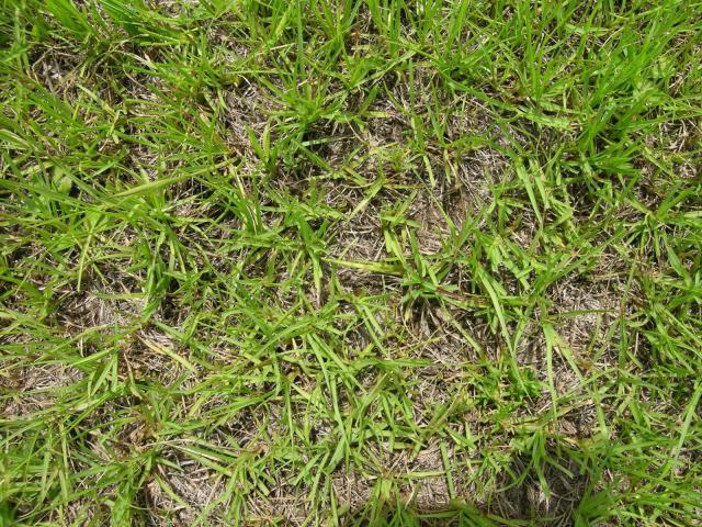 Bahia grass (Paspalum notatum), habit, Australia