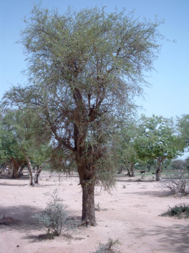 Desert date (Balanites aegyptiacus) tree