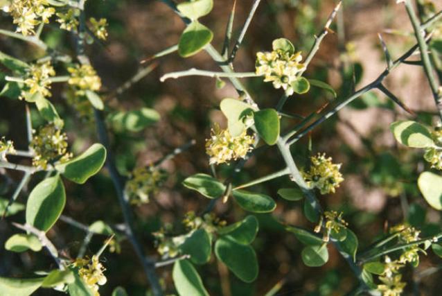 Desert date (Balanites aegyptiacus) flowers and thorns