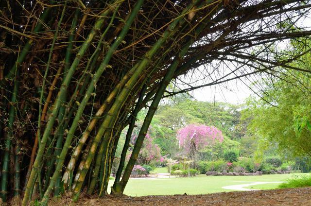 Giant thorny bamboo, Singapore
