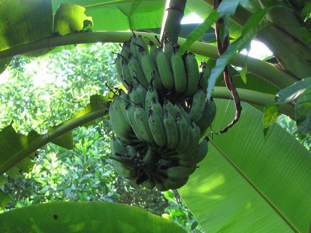 Banana fruits, Vietnam