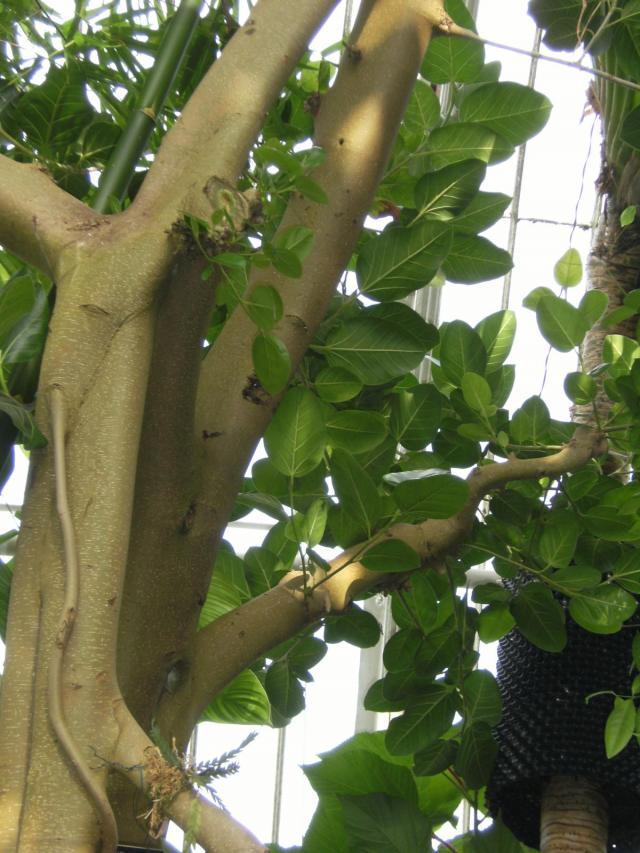 Banyan (Ficus benghalensis), foliage, Kew Gardens, London