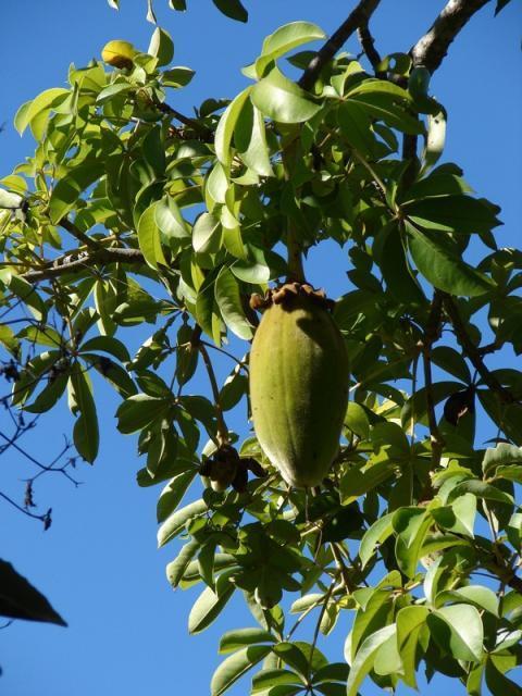 Baobab (Adansonia digitata L.) fruit
