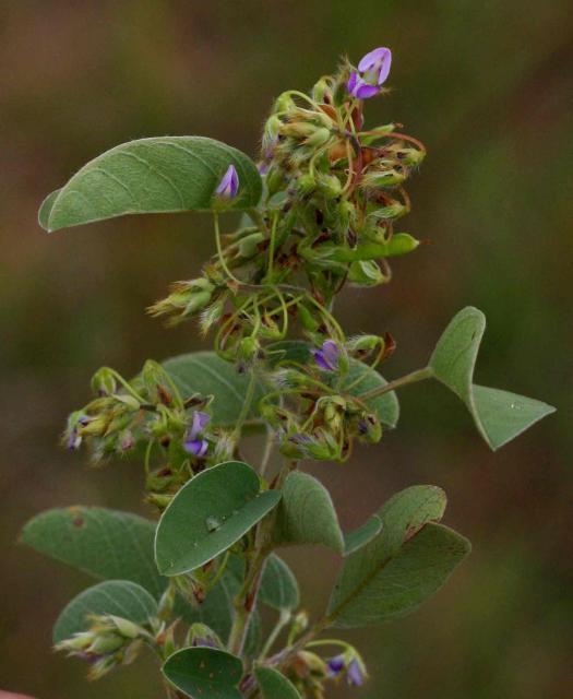Barbadinho (Desmodium barbatum) flower, Zimbabwe