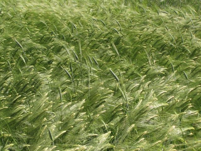 Barley spikes, France
