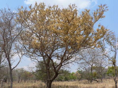 Monkey thorn (Acacia galpinii), habit, Malawi