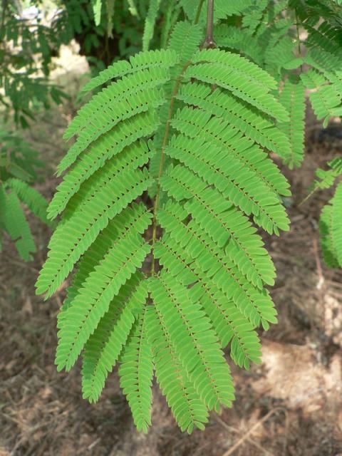 Monkey thorn (Acacia galpinii), leave, Malawi