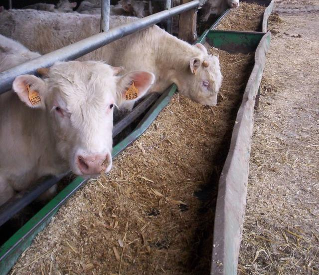 Beef cattle eating maize silage