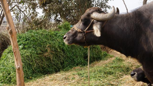 Berseem (Trifolium alexandrinum) cut for cattle, Alexandria, Egypt