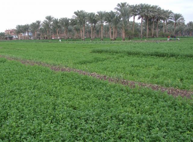 Berseem (Trifolium alexandrinum) stand, Alexandria, Egypt