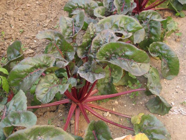 Sugar beet plant